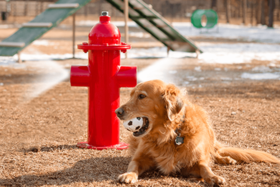 golden-retriever-with-red-fire-hydrant